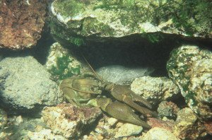 White Clawed Crayfish (Austropotamobius pallipes)