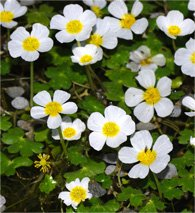 Water-Crowfoot