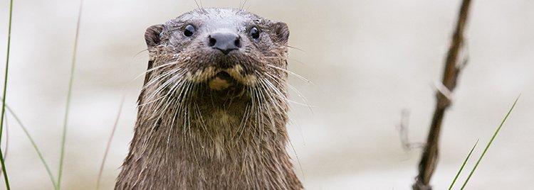 otter again